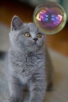 Британский котенок наблюдает за мыльным пузырем, Sheila Smart