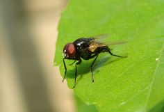 The common house fly is not just an annoying pest. It can spread disease and illness through your house, and if you keep animals, through your stables and barns. Dysentery and...
