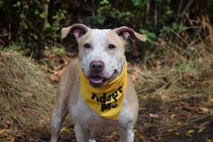Staten Island PINKY – A1090330 FEMALE, TAN / WHITE, PIT BULL / LABRADOR RETR, 5 yrs STRAY – STRAY WAIT, HOLD FOR ARRESTED Reason OWN ARREST Intake condition EXAM REQ Intake Date 09/18/2016, From NY 10301, DueOut Date09/21/2016, I came in with Group/Litter #K16-074684.