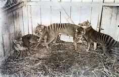 Extinct Thylacine (aka Tasmanian Tiger) family at Beaumaris Zoo in Hobart, 1910 Animals: Wild Cats (CTS) Extinct Animals, Prehistoric Animals, Rare Animals, Animals And Pets, Tasmanian Tiger, Australian Animals, Animals Beautiful, Pet Birds, Mammals