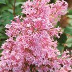 Pink Reblooming Lilacs