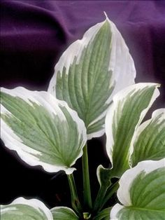 Hosta 'Bridal Falls' (Van den Top NR)  Size: large -- a sport of Niagara Falls