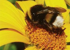The role of the bee  Bees and other pollinating insects play an essential role in ecosystems. A third of all our food depends on their pollination. A world without pollinators would be devastating for food production.