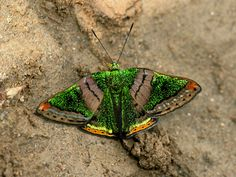 Butterflies of Amazonia - Caria mantinea  Green Mantle