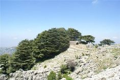 Jaj Cedars Forest Hike with Adventures in Lebanon https://hikcal.com/lebanon/jaj-cedars-forest-hike-with-adventures-in-lebanon-2/ #thehikingcalendar #Adventure #Beirut #Byblos #Forest #Hike #Hiking #Jbeil #Lebanon #Liban #MiddleEast #Nature #Outdoors #Picnic #Reserve #Sea #Wild #الشرقالأوسط #بيروت #جبيل #لبنان