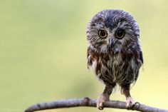 Baby Owl! You are the essence of cute!