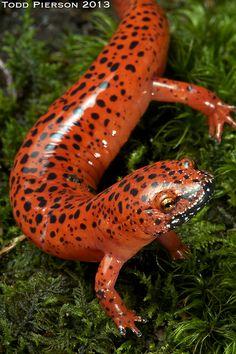 Pseudotriton ruber schencki: Black-chinned Red Salamander