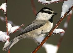 Mountain Chickadee - Mountain Chickadee - seen at my feeder this morning 1/20/2016. He would land on the feeder, grab a seed, then off he flew. This was repeated several times.