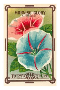 morning glory, vintage seed packet