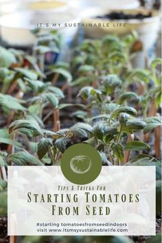 Growing tomatoes from seed may be the most popular skill any gardener, new or seasoned, wants to develop. Although learning how to grow tomatoes from seed is not difficult, there are a few considerations to be conscious of. | It's My Sustainable Life @itsmysustainablelife #growingtomatoesfromseed #growingtomatoesfromseedindoors #growingtomatoesfromseedtips #howtogrowtomatoesfromseed #startingtomatoesfromseed #growtomatoesfromseed #itsmysustainablelife Growing Tomatoes From Seed, Grow Tomatoes, Gardening For Beginners, Gardening Tips, Subsistence Agriculture, Homestead Gardens, Organic Gardening, Vegetable Gardening, Fruit Garden