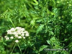 Erva-doce, Anis   Plantas Medicinais - Cultivando.com.br