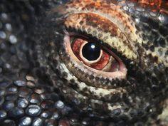 Great Komodo Dragon lizard eye