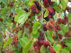 Red Mulberry Tree - Morus Rubra - Live Plant - Not Dwarf The Red Mulberry is a fruit-bearing tree that is not only lovely, but useful to both humans and wildlife. The most attractive feature of this tree is the fruit it produces. Fruit Garden, Edible Garden, Vegetable Garden, Edible Plants, Poisonous Plants, Permaculture, Weeping Mulberry Tree, Lagerstroemia Indica, Mulberry Bush