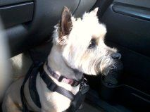 My cairn terrier after a haircut.  She see's another dog, small but mighty thoughts..