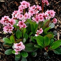 163 best flowers i try to grow images on pinterest garden plants bergenia pink dragonfly mightylinksfo