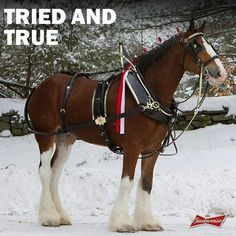 Budweiser Clydesdale Big Horses, Work Horses, Horses And Dogs, White Horses, Andalusian Horse, Friesian Horse, Arabian Horses, Palomino, Most Beautiful Horses