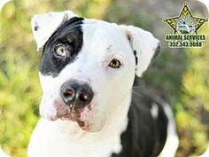 3/17 SUPER URGENT! Time is running out! 2/2 BABY is STILL WAITING! 12/9 Baby is still waiting! 11/10/15 - American Pit Bull Terrier Dog for adoption in Tavares, Florida - BABY (((Tavares is a SNOW BIRD AREA, so many of these wonderful pets won't get adopted. If you know of rescue groups that can transport these lovable animals to other cities where they have a greater chance at being adopted, please spread the word. Thx!)))