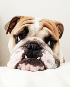 British Bulldog. Not the cutest, but beautiful in his own way!
