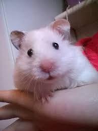 Resultado de imagen de Pet Hamsters