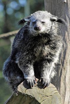 A Bearcat is another name for a binturong, a sloth-like mammal from Southeast Asia.