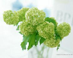 Green Viburnum, Viburnum Flowers