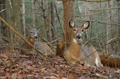 How to Tell a Buck Bed from a Doe Bed | Field & Stream Bow Hunting Deer, Whitetail Deer Hunting, Quail Hunting, Deer Hunting Blinds, Hunting Girls, Turkey Hunting, Archery Hunting, Hunting Gear, Hunting Stuff