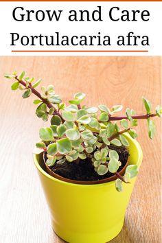 """Portulacaria afra """"Elephant Bush Care"""""""