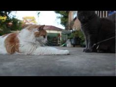 Crazy Cats- 5D Mark II short film -  #animals #animal #pet #cat #cats #cute #pets #animales #tagsforlikes #catlover #funnycats 5D Mark II short film- Crazy Cats – you will find funny and cute moments in my cats' life. Great production quality, so make sure to turn on HD viewing options.  - #Cats