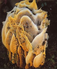 bees and their honey comb