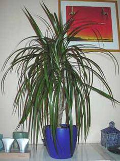 Pokojové rostliny II. - Dracena | Bydlení pro každého