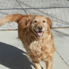 "This is Betty - 6 years old. She was rescued from a shelter where her owner surrendered her because they were ""getting too old to chase her"". She is on thyroid meds, loves to go for walks, is good with other dogs and knows basic commands. Betty is looking for a forever home and is at Companion Golden Retriever Rescue in Utah."