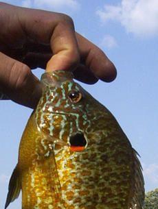 Weekly Fishing Tip: Walleye, Northern Pike and Panfish