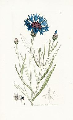 Corn Blue-bottle - James Sowerby Botanical Prints 1791