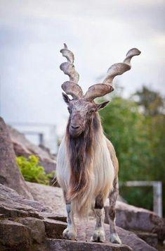 Capra Falconeri Corna Da Guinness: Alcune Tra Le Più Spettacolari Del Regno Animale