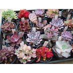 季節限定販売 紅葉多肉植物だけを集めたセット  紅葉と一言にいいましても、全体が赤くなる植物あり・ピンク色になる植物あり・縁だけ赤くなる植物あり植物により紅葉の仕方は様々、それだけ見ていても楽しくなるものです。 http://www.akkis.jp/item/pt-097/