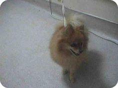 Pasadena, CA - Pomeranian. Meet A410450, a dog for adoption. http://www.adoptapet.com/pet/17284594-pasadena-california-pomeranian