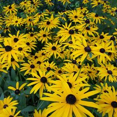 Rudbeckia Goldstrum creating a glorious Autumn display on the garden farm. Also one of my flower essences, with the quality of lifting your spirits so you feel as if you are basking in a sea of healing gold.