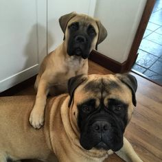handsomedogs — lagratitudebullmastiffs:   My big brother and I...