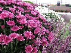 Risultati immagini per fiori autunnali