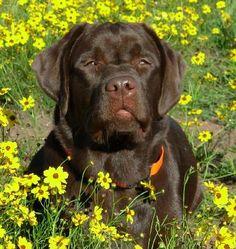 English Chocolate Labrador Breeder