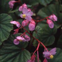 """Begonia evansii - hardy begonia - 30"""", shade, late emerging (overplant w/ ephemerals)"""