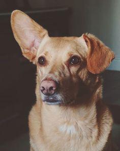 "Andreea Atanasiu Ⓥ on Instagram: ""Goldie 🥰 #dogs #puppy #babygirl #love #dogsofinstagram #doggo #mutt #muttsofinstagram #prettygirl #sweet #oneearuponeeardown #compass…"" Mutt Puppies, Compass, Pretty Girls, Labrador Retriever, Sweet, Dogs, Animals, Instagram, Labrador Retrievers"