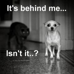 Chihuahua-reminds me of Ruggy & Mama Kitty's relationship!!