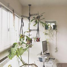 行き場を失っていた吊り下げ組にポールを立ててやりました。#つっぱり棒 #ネペンテス #ビカクシダ #コウモリラン #植物 #観葉植物 #green #plants #割礼 #nepenthes #plantlife #nature #room