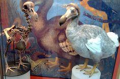 Dodô (Raphus cucullatus)  O dodô era uma ave que existia nas Ilhas Maurício, no Oceano Índico. Longe de predadores, o animal perdeu a habilidade de voar durante a evolução e explorava seu habitat a pé. Quando os primeiros navegantes chegaram às ilhas no fim do século 16, começaram a caçar as aves indefesas, que também eram alvo de animais domésticos como gatos e cachorros (o biguá-de-galápagos enfrenta os mesmos problemas hoje). Em 1662 o animal entrou em extinção.