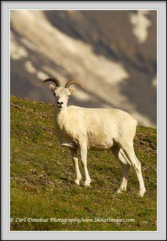 Dall Sheep ewe picture, Wrangell St. Elias National Park, Alaska   Dall Sheep ewe, in the Wrangell Mountains, Wrangell St. Elias National Park and Preserve, Alaska. Ovis Dalli dalli.
