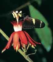 En el interior del bosque florece una Passiflora que es visitada por la mariposa del género Heliconius.