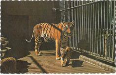 Tigre. Tiger. Animals, Vintage, Wild Animals, Dog, Cards, Animaux, Animal, Vintage Comics, Animales