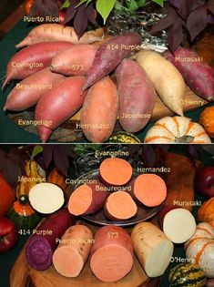 """The sweet potato is the state vegetable of North Carolina, leading producer in the U.S. Sweet potatoes are not """"yams'"""" (Dioscorea genus/Africa ) - they're in the Ipomea genus (morning glories) originating in South America, & only distantly related to true potatoes."""