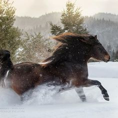 Full of charisma Canadian stallion Lacadienne Sam*Set Bright*Sun. If you you would like to boost your portfolio with proper winter shoots, join me in January during my Equine Photography Tour in Canada (signups open till 31st December).! ©️️ Katarzyna Okrzesik-Mikołajek #Regram via @katarzyna_photo_equine